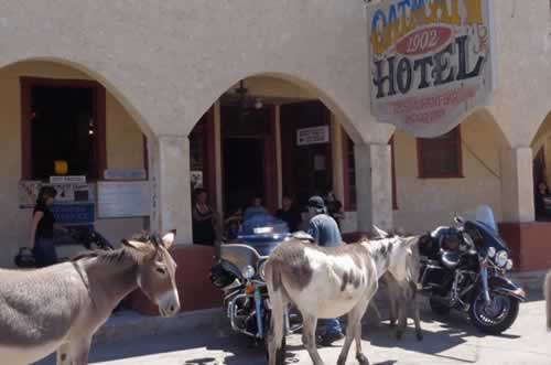 Wild burros at the Oatman Hotel